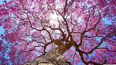 wallpaper alam cabang bunga sakura langit cerah