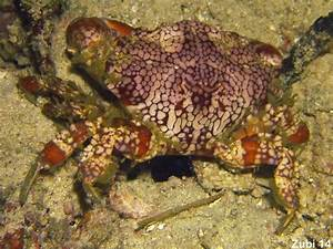 True Crabs  Brachyura