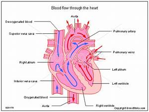 Blood Flow Through The Heart Illustrations
