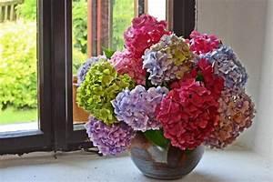 Hortensie Als Zimmerpflanze : hortensien pflanzen pflegen schneiden und mehr ~ Lizthompson.info Haus und Dekorationen
