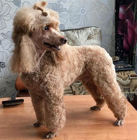 71 Best Female Poodle Dog Name Ideas Petpress
