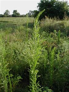 Mares Tails Weeds Horseweed