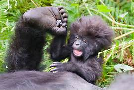 Cute Mountain Gorilla ...Cute Mountain Gorilla