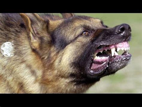 angry german shepherd growls barks  attacks man