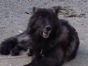 Arctic Wolf Hybrid Puppies