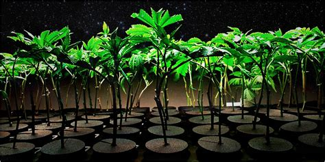 How To Start Nursery Plant Business by Clones 101 Clones Vs Seeds Amp Why Clones Can Be The