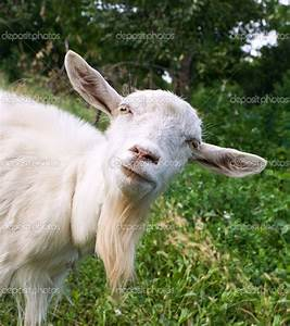 Images Of Funny Goat Pictures With Quotes Summer