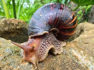Giant African Snail Invasive Species Long Island ...