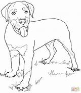 Coloring Rottweiler Puppy Dog Printable Drawing Lab Puppies Retriever Dogs Pinscher Golden Miniature Supercoloring Cartoon Super Colouring Getdrawings Realistic Rottweilers sketch template
