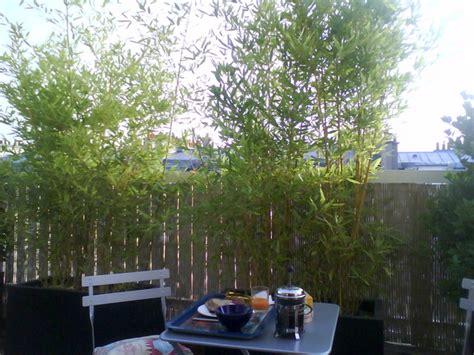 bambou en pot pour balcon petits bambous et bambous nains s 233 lection d esp 232 ces et vari 233 t 233 s