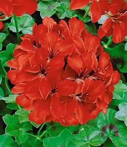 Hängepflanzen Für Balkonkästen : h nge geranien kollektion 39 rot we h ngepflanzen bei ~ Michelbontemps.com Haus und Dekorationen