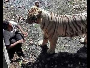GRAPHIC: Tiger eats man alive in Delhi (India) ZOO - YouTube