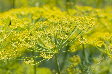tanaman adas fennel matter science nutrition dr bill dean