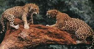 Those two cheetahs could be fighting over food, shelter ...