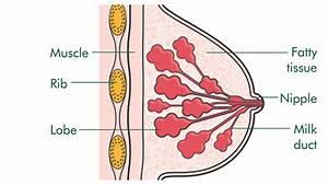 Breast Structure Diagram