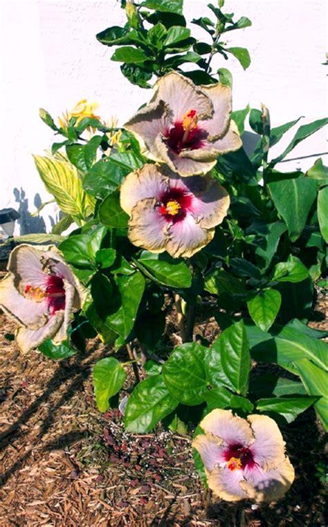valley hibiscus worldwide hibiscus garden in florida