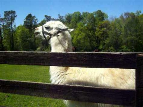 What Noise Do Llamas Make