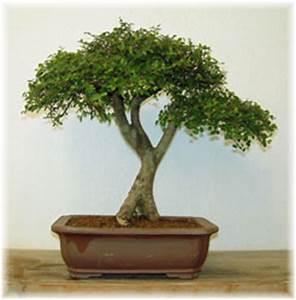 Bonsai Chinesische Ulme : bonsai indoors zimmerbonsai ~ Sanjose-hotels-ca.com Haus und Dekorationen