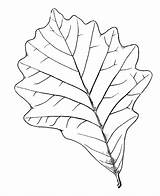 Coloring Tree Oak Leaf Birch Printable Leaves Pages Canoe Bark Template Eastern Sketch Print Supercoloring Leave Categories sketch template