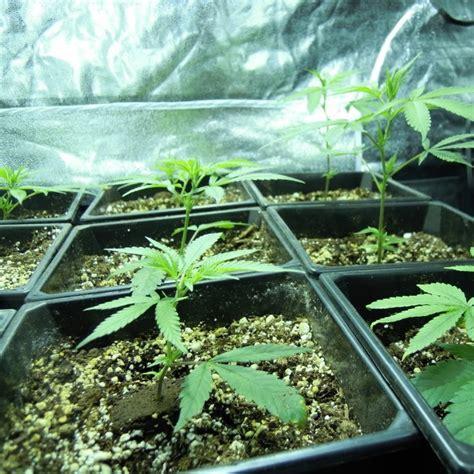 sea of green sog mar 28 images cultivo de marihuana sog sea of green sea of green sog