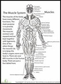 Human Anatomy Muscles  Pinterest  Human Anatomy, Anatomy And Worksheets