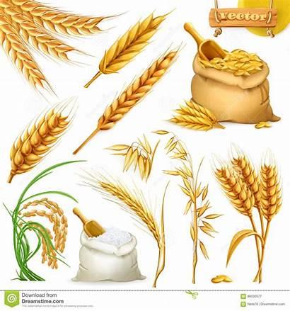 Wheat Barley Rice Vector Oat Illustration Icon