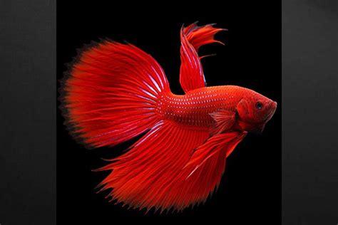 toile deco cuisine tableau design poisson combattant izoa