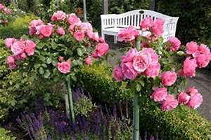 Wann Schneidet Man Rosen Zurück : wann rosen schneiden anleitung zum rosenschnitt ~ Orissabook.com Haus und Dekorationen