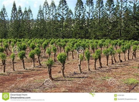 When it comes to hawaii coffee most people think immediately of kona coffee, and for a good another substantial coffee plantation is located on oahu and covers about 180 acres overlooking the. Coffee plantation stock image. Image of field, farming - 57297201