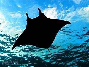 Here U0026 39 S What It U0026 39 S Like To Swim With Manta Rays