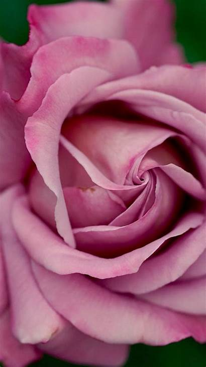 Pink Rose Roses Dusty Background Wallpapers Iphone