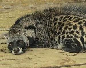 Animals Unique: African Civet Predators