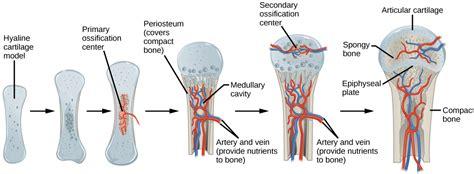 Tulang Gigitan Hip Bone bone voer