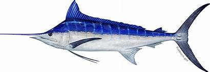 Marlin Pacific Makaira Known Fishwatch Kajiki Really