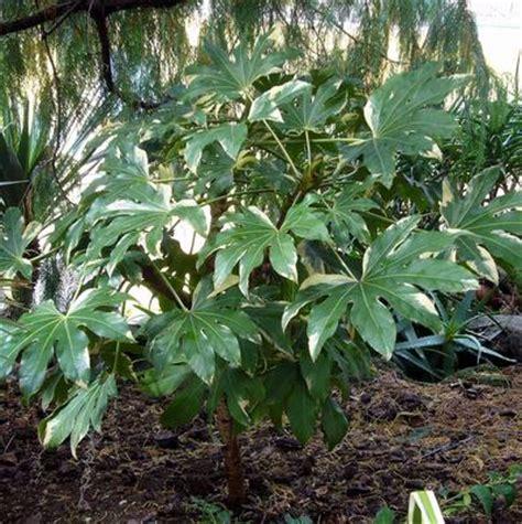 variegated japanese aralia fatsia japonica variegata variegated japanese aralia from greenleaf nursery