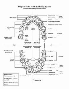 Printable Tooth Numbering Chart