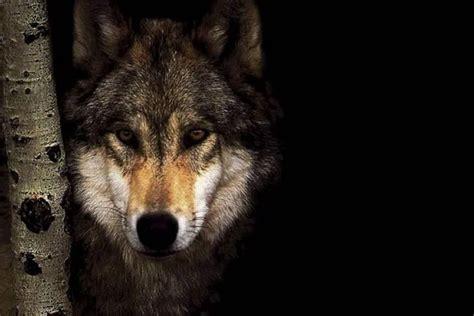 Cool Wolf Backgrounds Wolf Background 183 Free Awesome Wallpapers For
