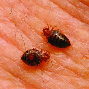 Best boston bed bug treatment nw pest control for Bed bugs boston