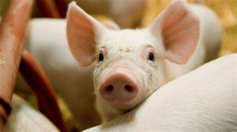 Stort fald i brug af antibiotika til svin