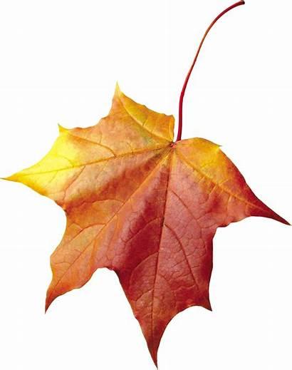 Maple Autumn Leaf Transparent Purepng