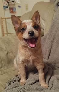 93 best Red Heelers or ACD Australian Cattle Dog images on ...