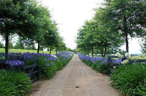 Agapanthus Hedge  So Beautiful  Garden Pinterest