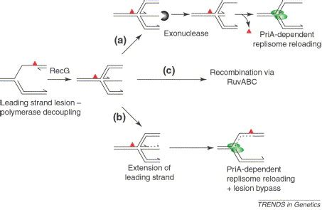 the leading strand template forms a priming loop genome stability and the processing of damaged replication