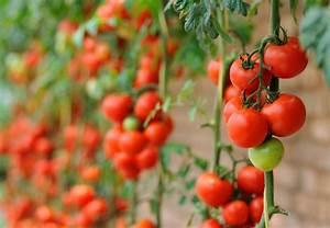 Tomaten Richtig Schneiden : tomaten veredeln m rz 2008 03 tomaten veredeln tomaten ~ Lizthompson.info Haus und Dekorationen