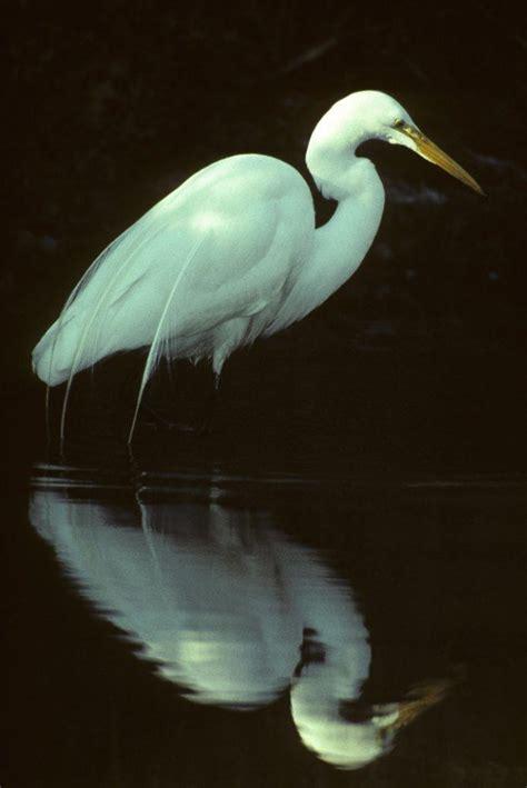 great egret sacramento splash