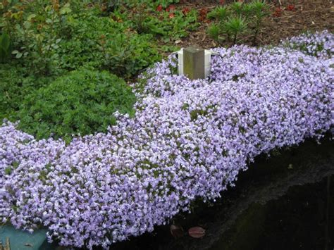 winter bloemen australie emerald cushion blue phlox subulata winterhard en