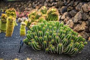 Mimosa Résistant Au Froid : cactus en ext rieur ooreka ~ Melissatoandfro.com Idées de Décoration