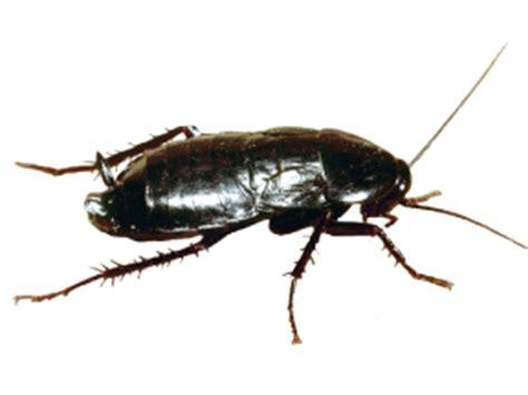 blatte de cuisine blattes et cafards que faire contre les blattes et les
