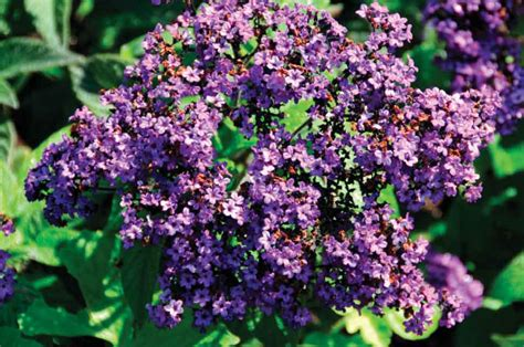 heliotrope flower what color is heliotrope