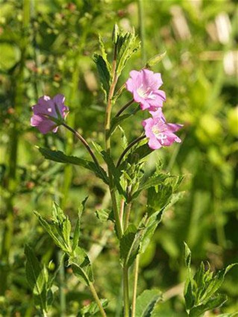 small flowered willow herb